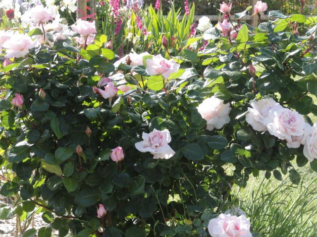 Mes roses et Frédéric Mistral 01510
