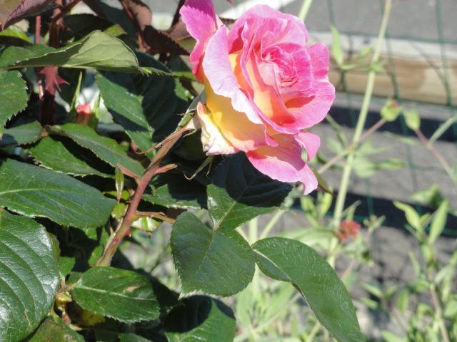 Mes roses et Frédéric Mistral 01910