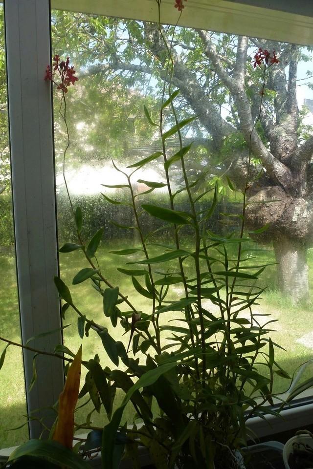 Epidendrum? P1070110