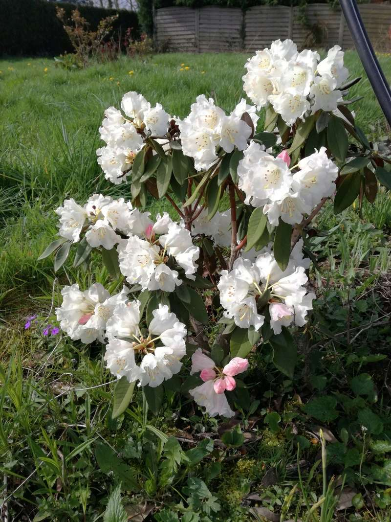 Rhododendron Img_2013