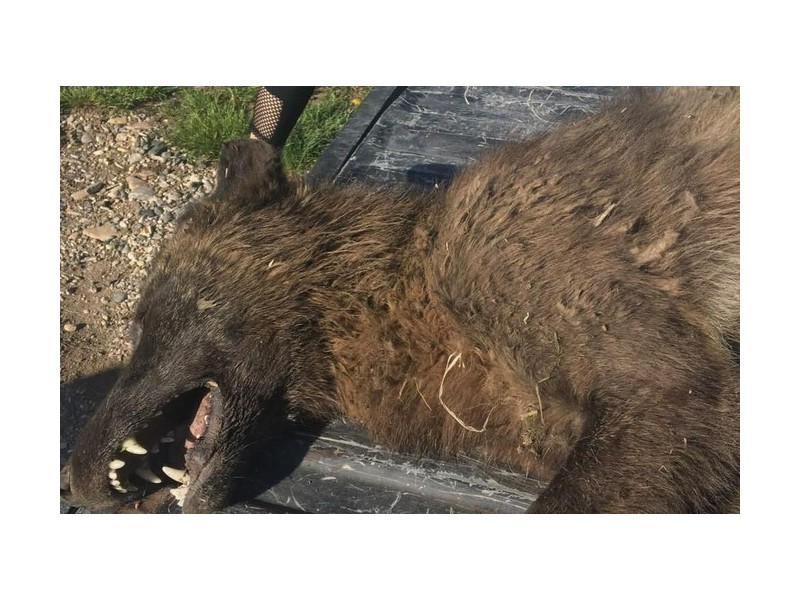 Un animal inconnu tué par un éleveur américain Sans1479