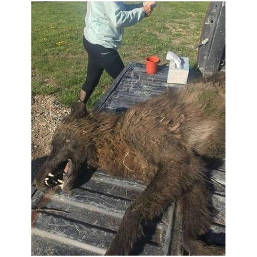Un animal inconnu tué par un éleveur américain Sans1481