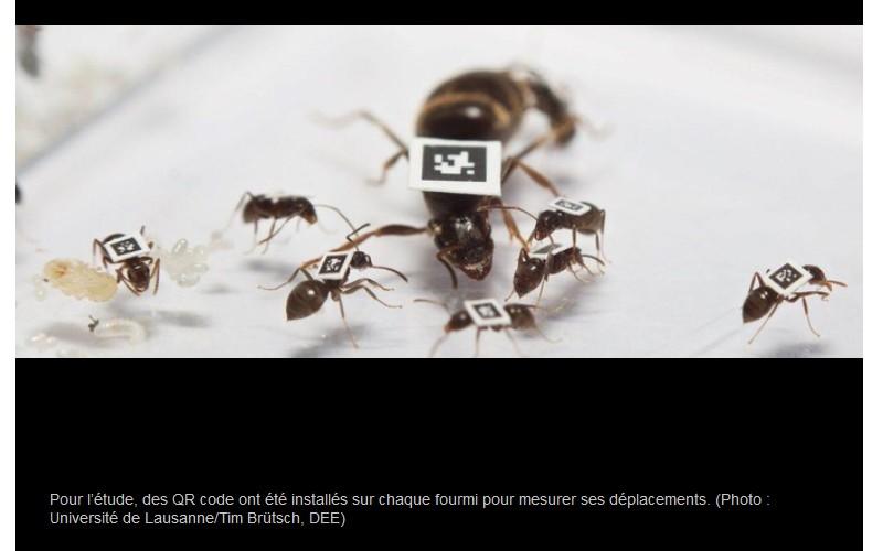 Les fourmis ont inventé le congé maladie bien avant l'homme Sans1525