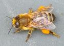 [besoin avis] Un coup de Bourdon chez les abeilles?  Abeill10
