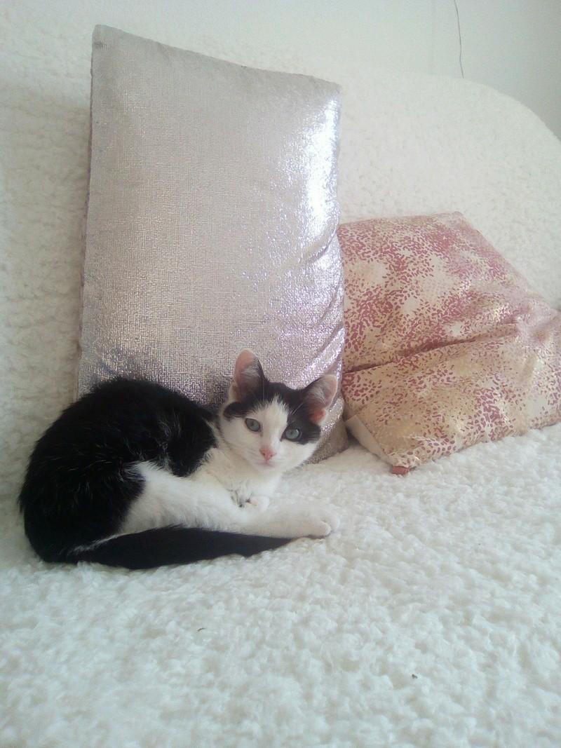 Perdue chatte noire et blanche allée de la Brie 27744210
