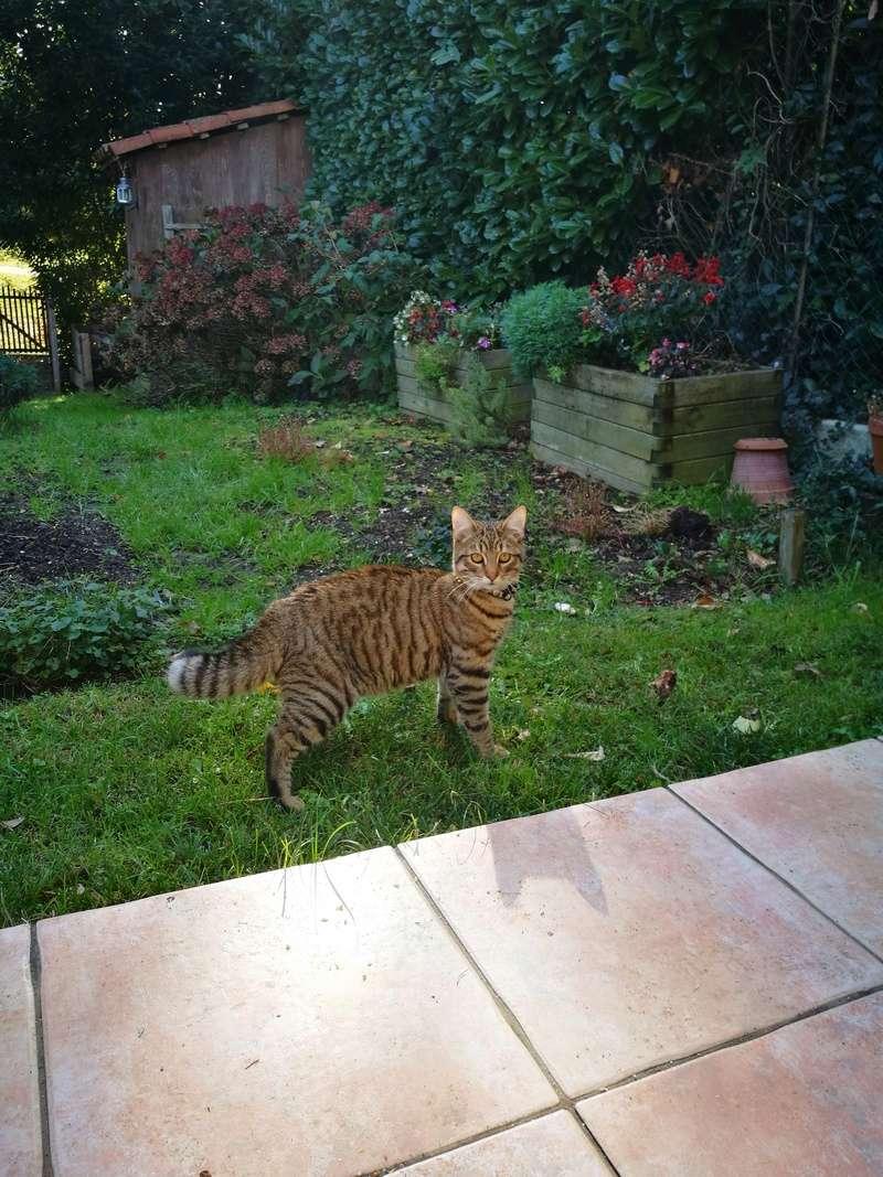 Trouvé chat tigré à colomiers Img_2010