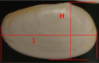 Omala hyalina - (Gmelin, 1791) Image310