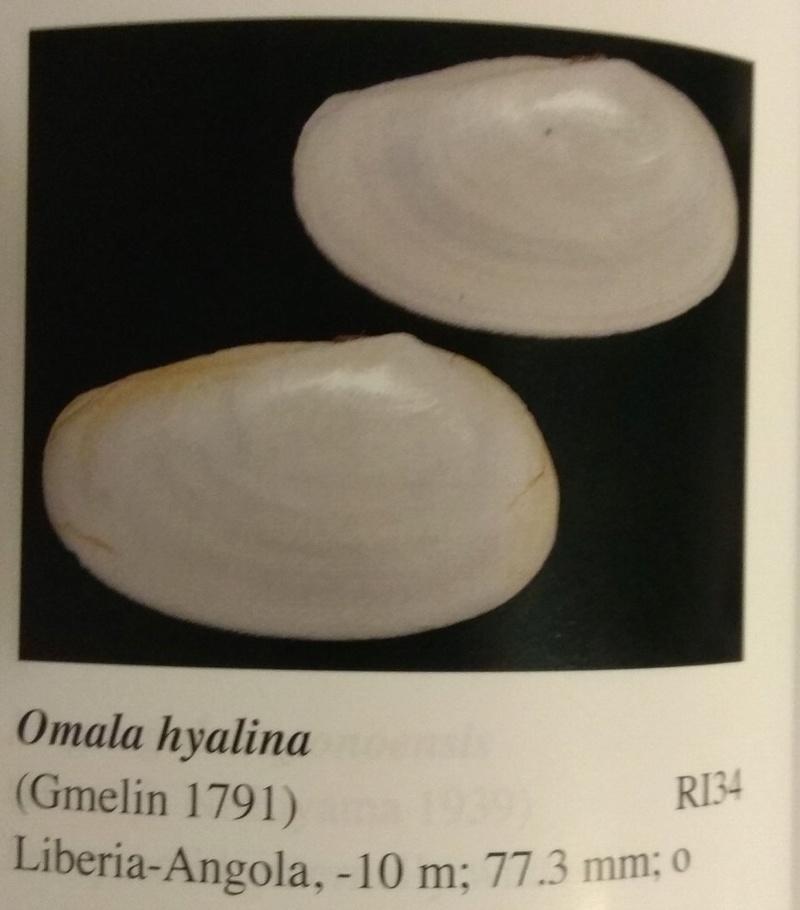 Omala hyalina - (Gmelin, 1791) Img_2013