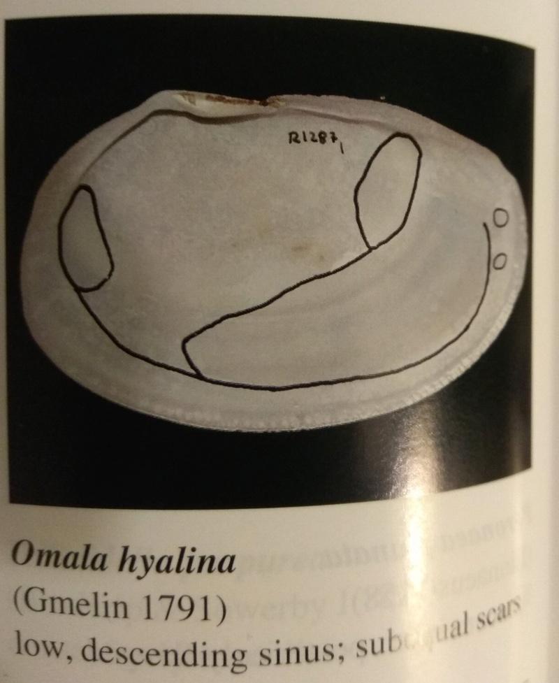 Omala hyalina - (Gmelin, 1791) Img_2014