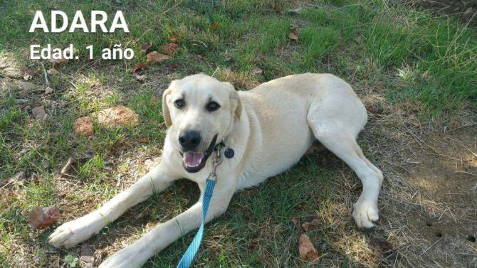 ADARA - x labrador 3 ans (2 ans de refuge) - Asso Une Histoire de Galgos - Castilla La Mancha (Espagne) Adara-10
