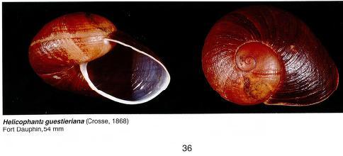 Helicophanta gloriosa (Pfeiffer,1856) à confirmer ou pas Avirer11