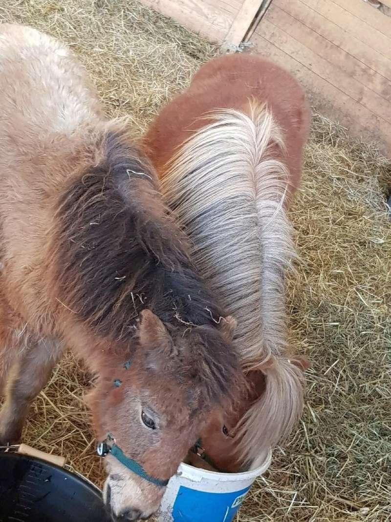 (dept 71) GAMIN & HERMINE - onc poney - sauvés par Céline (avril 2018) Img_0135