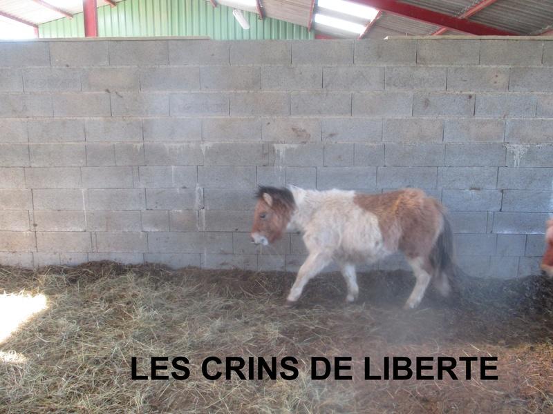(dept 71) - 11 mois - HAVANNE - onc poney - jument - Nathalie R. (mars 2018) Img_1042