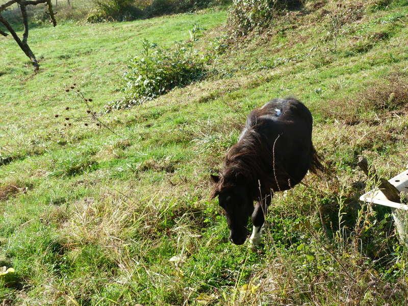 (Dept19) BIJOUX, Shetland, réservé par Lola1605 !!!! (Octobre 2012) - Page 9 P1180013