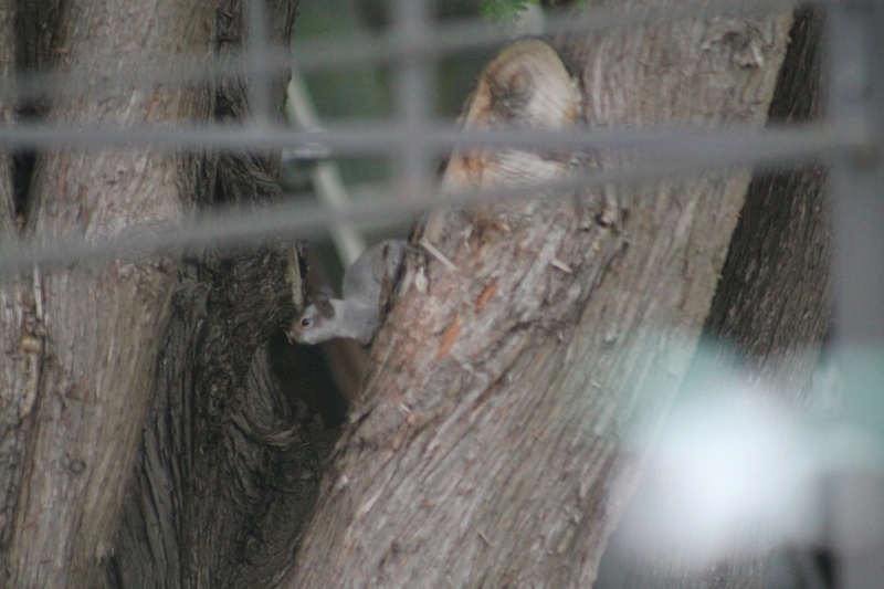 Bonjour! Pouvez-vous m'aider a identifier cet sorte d'écureuil. Merci de votre aide. Img_4243