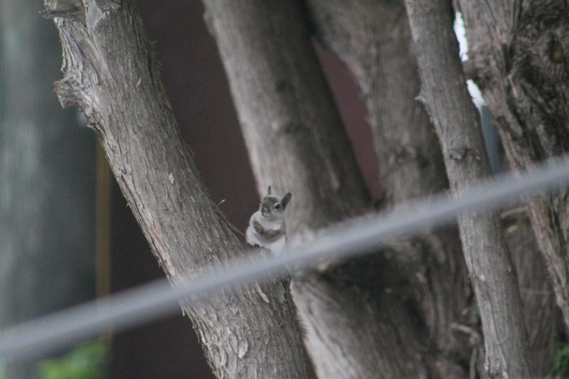 Bonjour! Pouvez-vous m'aider a identifier cet sorte d'écureuil. Merci de votre aide. Img_4252