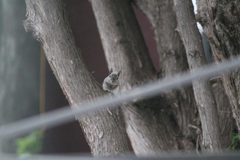 Bonjour! Pouvez-vous m'aider a identifier cet sorte d'écureuil. Merci de votre aide. Img_4253