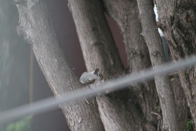 Bonjour! Pouvez-vous m'aider a identifier cet sorte d'écureuil. Merci de votre aide. Img_4254