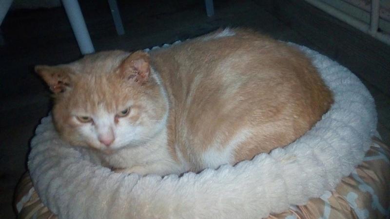 orion  2 beau chat roux et blanc(statut CHAT LIBRE) 26734410