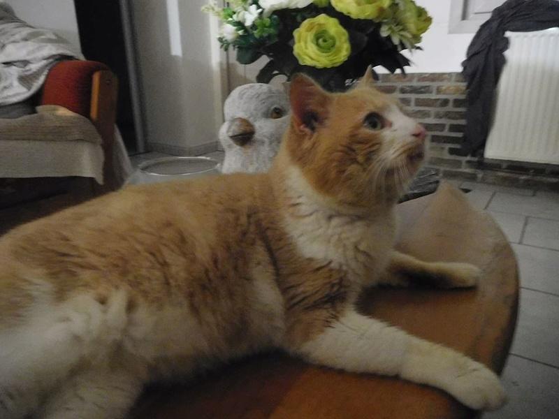 orion  2 beau chat roux et blanc(statut CHAT LIBRE) 28190611