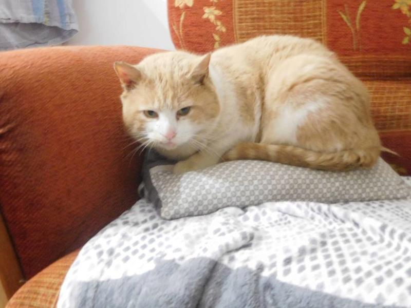 orion  2 beau chat roux et blanc(statut CHAT LIBRE) 28191410