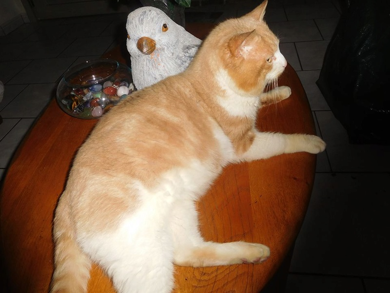 orion  2 beau chat roux et blanc(statut CHAT LIBRE) 28233610