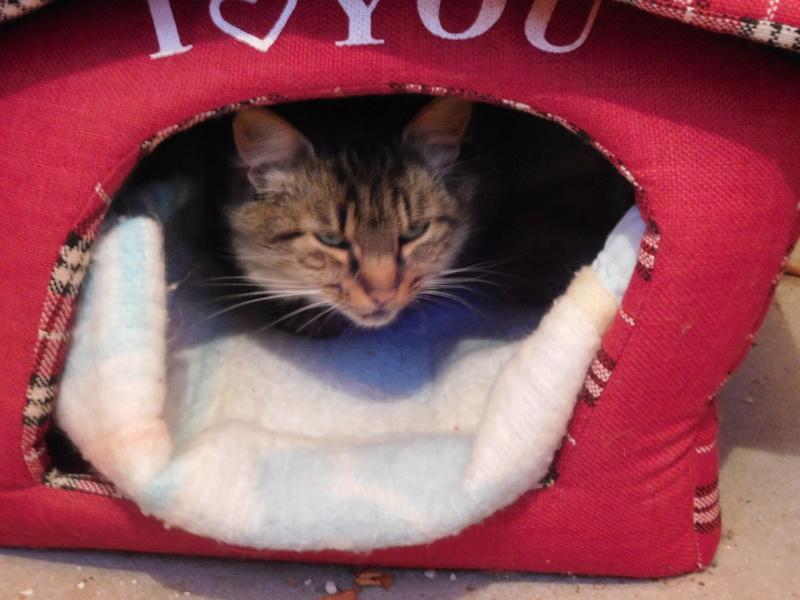 ALVIE  chatte tigrée 2 ans Dscn8110
