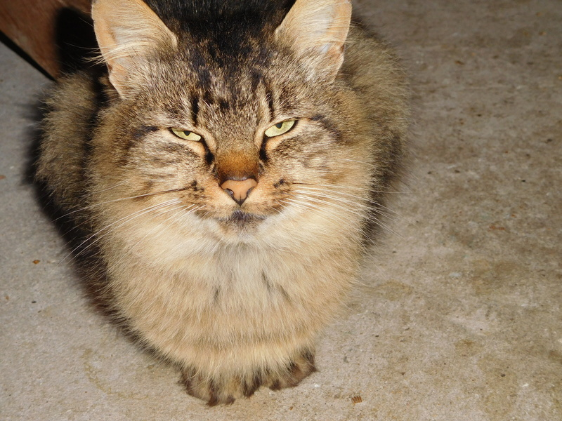 ALVIE  chatte tigrée 2 ans Dscn8112