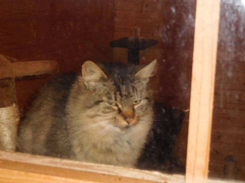 ALVIE  chatte tigrée 2 ans Dscn8210