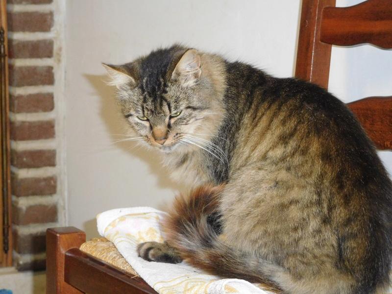 ALVIE  chatte tigrée 2 ans Dscn8211