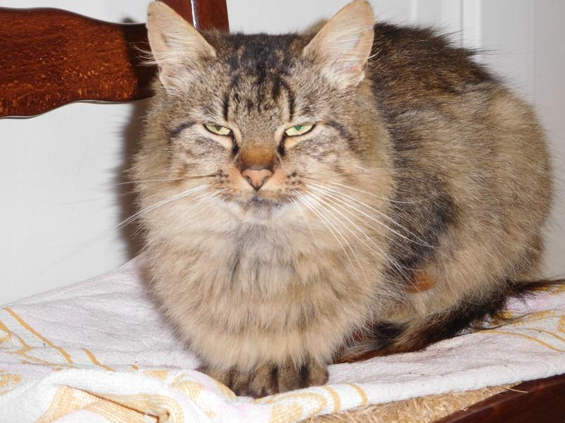 ALVIE  chatte tigrée 2 ans Dscn8212