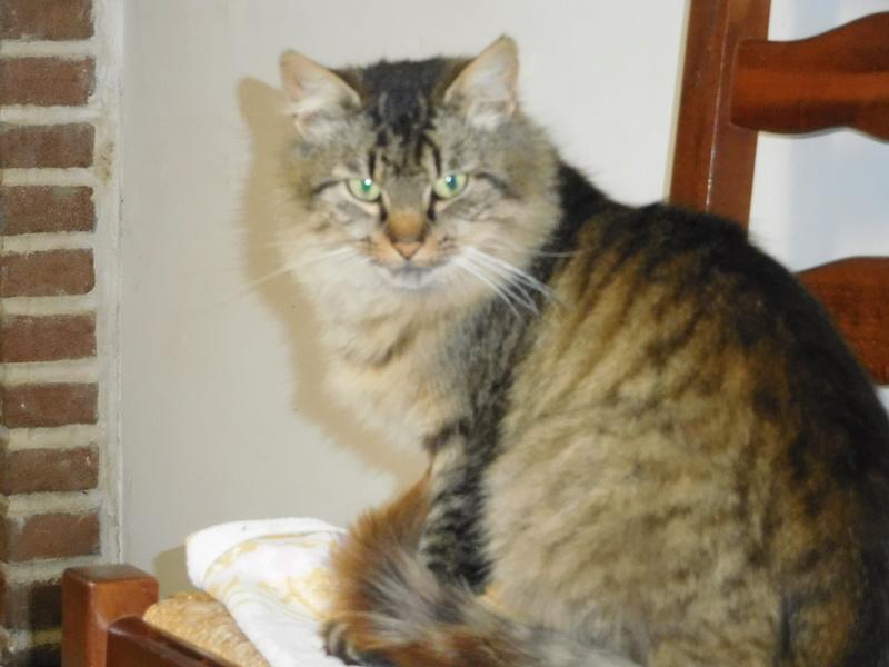 ALVIE  chatte tigrée 2 ans Dscn8213
