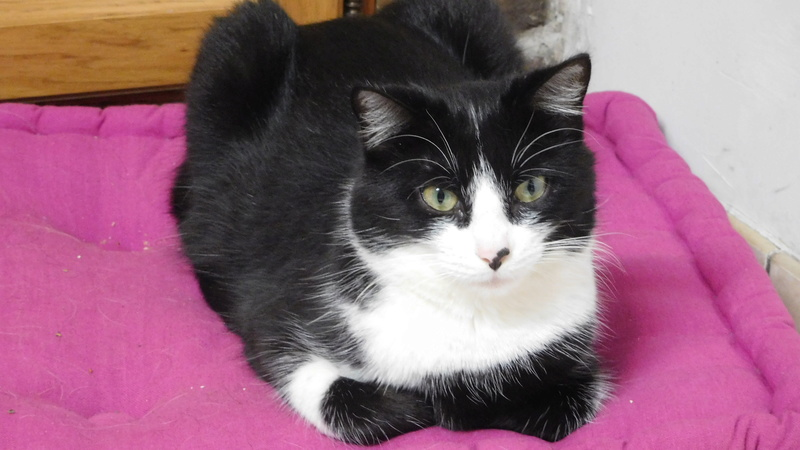 Tuxo chat noir et blanc né en septembre 2016 Dscn8222