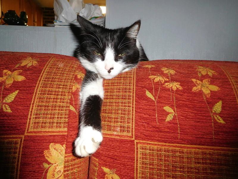 Tuxo chat noir et blanc né en septembre 2016 Dscn8223