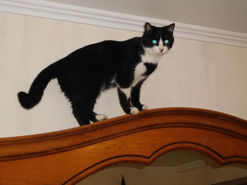 Tuxo chat noir et blanc né en septembre 2016 Dscn8224