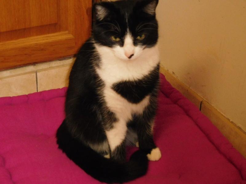 Tuxo chat noir et blanc né en septembre 2016 Dscn8225