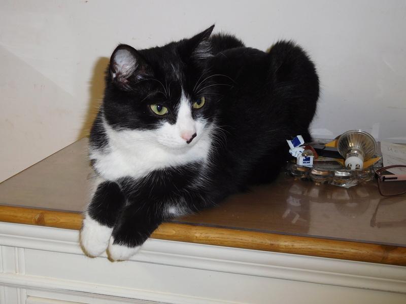 Tuxo chat noir et blanc né en septembre 2016 Dscn8226