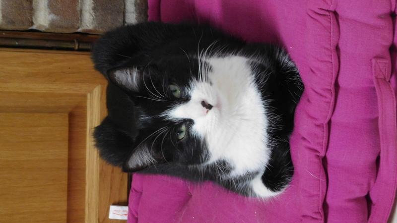Tuxo chat noir et blanc né en septembre 2016 Dscn8310