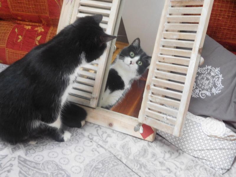 Tuxo chat noir et blanc né en septembre 2016 Dscn8311