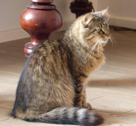 ALVIE  chatte tigrée 2 ans Image010