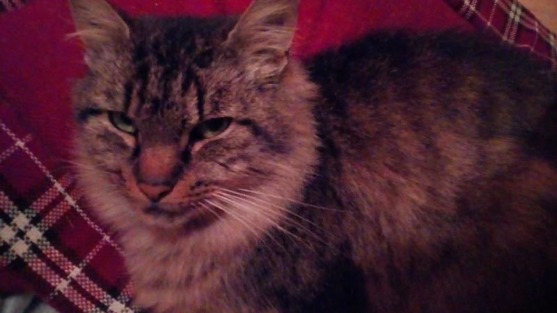 ALVIE  chatte tigrée 2 ans Img_2010