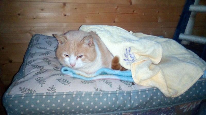 orion  2 beau chat roux et blanc(statut CHAT LIBRE) Img_2021