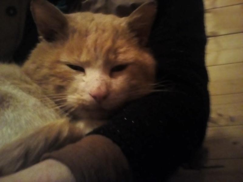 orion  2 beau chat roux et blanc(statut CHAT LIBRE) Img_2024