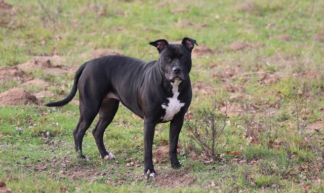 HELIE - femelle Amstaf Terrier - 2013 - UMA Helie_10
