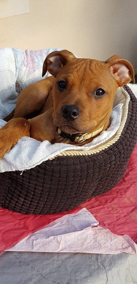 NALA - femelle X Amstaff Terrier - 2017 - UMA Nala_u10