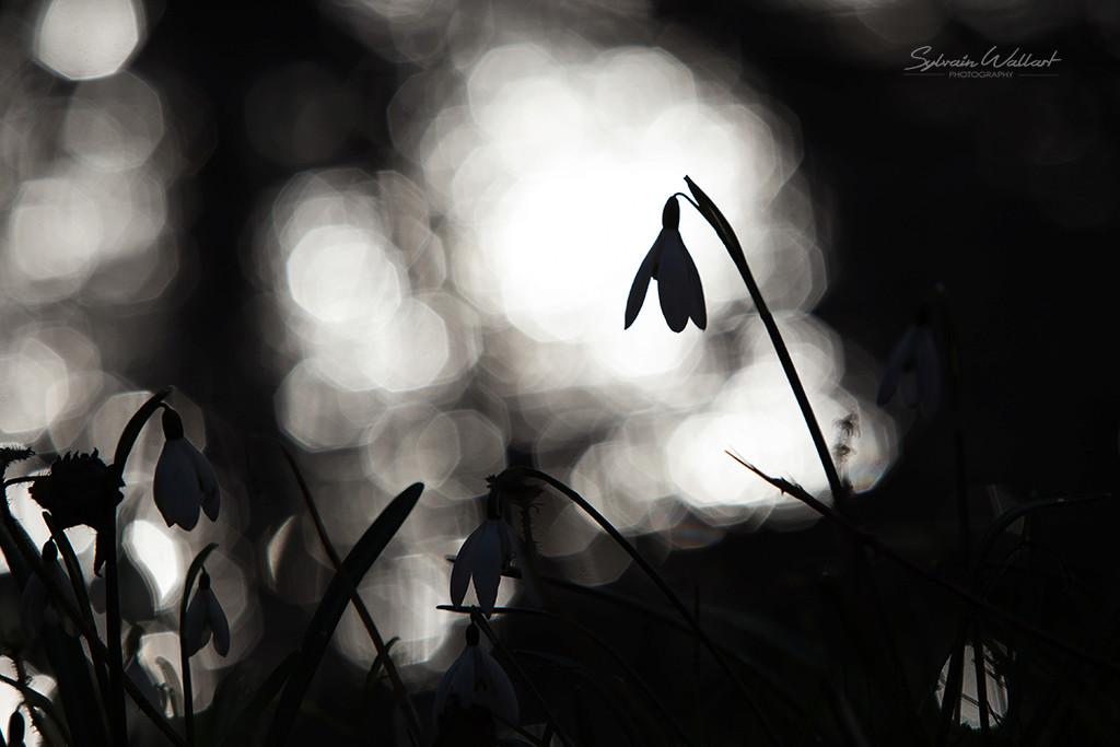 Perce-neige Img_5620