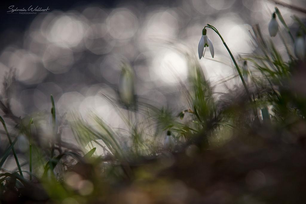 Perce-neige Img_5710