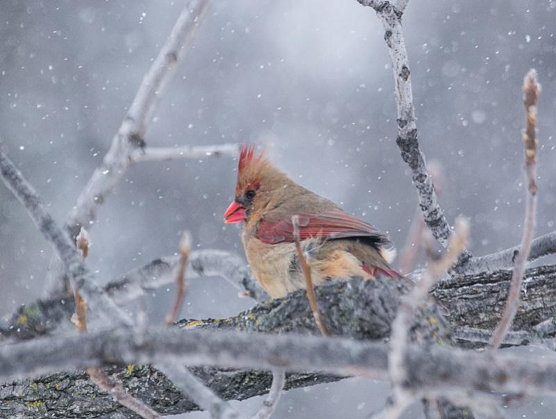 Cardinal Rouge (femelle) Cardin10