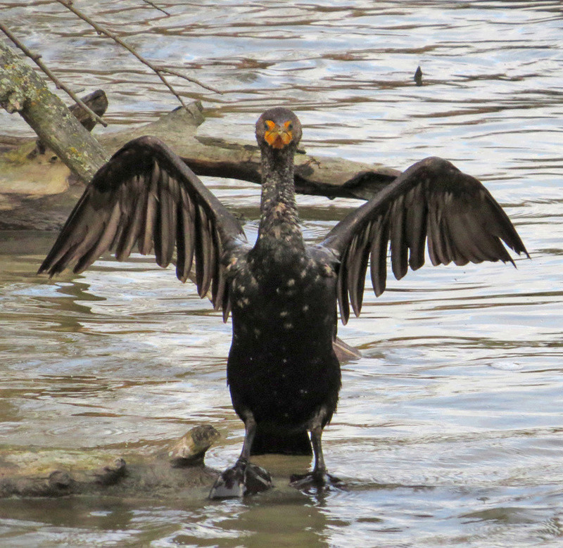 cormoran... Face_c10