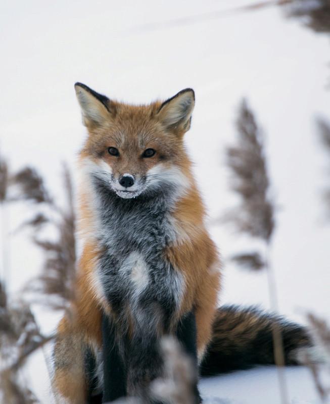renard roux... Renard10